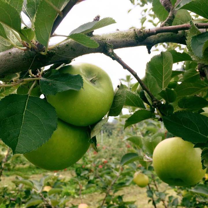 9月28日(木)~10月4日(水) 開催  りんごの木の下でお店??  大人気の「すっぱい林檎の専門店」さんが、  新しい商品を携えて、またまた十三日に登場です!